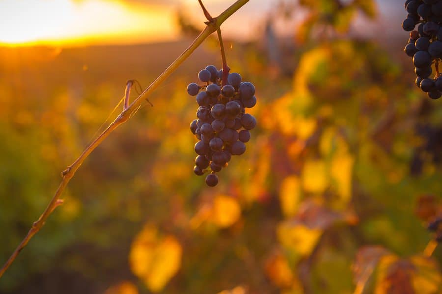 Fall Harvest wine grapes Napa Valley