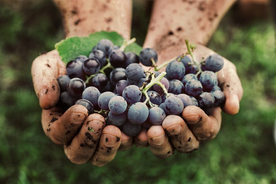 Wine grape fall harvest Napa Valley