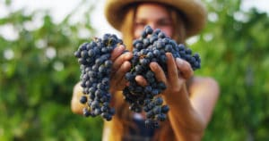 Napa harvest events